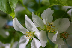Apple trees flowers. the seed-bearing part of a plant, consisting of reproductive organs stamens and carpels Stock Photos