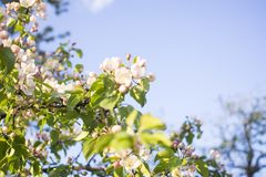 Apple trees flowers. the seed-bearing part of a plant, consisting of reproductive organs that are typically surrounded by a. Flowering branches of Apple trees in stock images