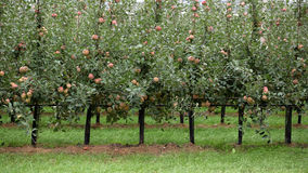 Apple trees full of apples Royalty Free Stock Photography
