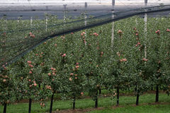 Apple trees full of apples Royalty Free Stock Photo