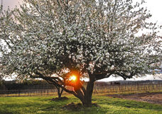 Apple Trees in full blossom with sunray Stock Image