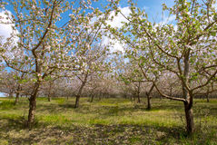 Apple trees garden. In spring Stock Photography