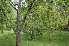 Apple trees in the garden stock images
