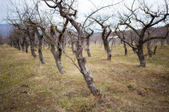 Apple trees garder during winter Stock Photos