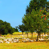 Apple trees and the geese Royalty Free Stock Photos