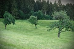 Apple trees on a green lawn near to the fir trees stock image