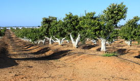Apple trees Stock Photography