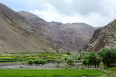 Apple trees at the green valley in Leh, India Royalty Free Stock Photography