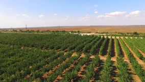 Apple Trees Growing  In Rows In Garden. AERIAL VIEW: Camera is slowly over lots of rows of apple trees growing in standard fruit garden swaying with light wind stock video