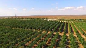 Apple Trees Growing  In Rows In Garden stock video
