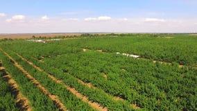 Apple Trees Growing In Standard Garden stock video footage