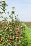 Apple trees loaded with apples in an orchard Royalty Free Stock Photo