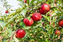 Apple trees loaded with apples in an orchard Royalty Free Stock Photography