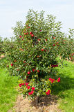 Apple trees loaded with apples in an orchard Stock Photography