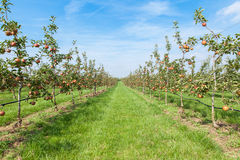 Apple trees loaded with apples in an orchard in summer Royalty Free Stock Image