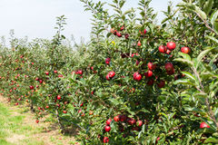 Apple trees loaded with apples in an orchard in summer Royalty Free Stock Photo