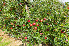Apple trees loaded with apples in an orchard in summer Stock Image
