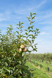 Apple trees loaded with apples in an orchard in summer Royalty Free Stock Images