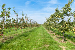 Apple trees loaded with apples in an orchard Royalty Free Stock Photos