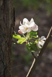 Apple-trees lovely flowers on the sun. Royalty Free Stock Photography