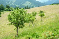 Apple trees at meadow in Carpathian mountains. Ukraine destinati Royalty Free Stock Image