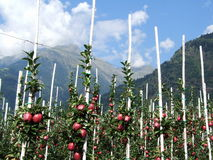 Apple trees near Parcines. In South Tyrol in Italy Royalty Free Stock Photo
