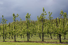 Apple trees orchard. View on rows of apple trees in orchard Stock Photos