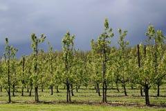 Apple trees orchard Stock Photos