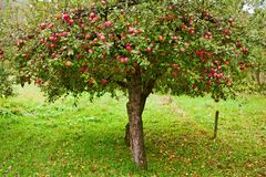 Apple trees orchard. Apple trees in an orchard, with red apples ready for harvest Stock Photos