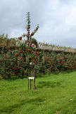 Apple trees in orchard. Royalty Free Stock Photo