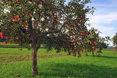 Apple Trees Orchard Royalty Free Stock Images