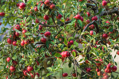 Apple trees in an orchard Royalty Free Stock Image