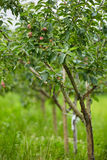 Apple trees in an orchard Stock Photo