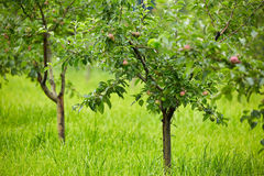 Apple trees in an orchard Royalty Free Stock Photos