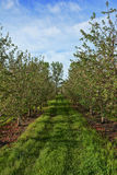 Apple Trees. An apple orchard with newly budding blossoms Royalty Free Stock Photo