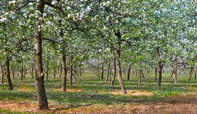 Apple trees orchard in panoramic with flowers. Orchard trees with white flowers Royalty Free Stock Image