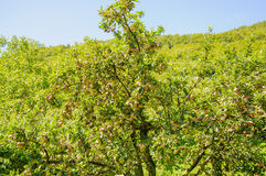 Apple trees in an orchard, with red and green apples Stock Photography