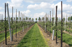 Apple trees in an orchard. Rows of apple trees in an orchard in Haaften, Netherlands Stock Images