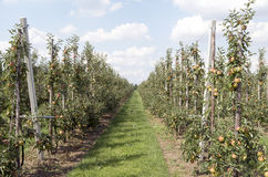 Apple trees in an orchard. Rows of apple trees in an orchard in Haaften, Netherlands Royalty Free Stock Photos
