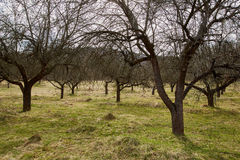 Apple trees orchard in the spring Stock Image