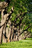 Apple trees in the park. In the evening royalty free stock photography