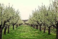 Apple trees. A part of spring from Romania garden stock image