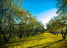 Apple trees Stock Photos