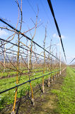 Apple trees with irrigation system Royalty Free Stock Images