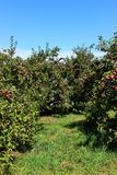 Apple trees. Ready for harvest in fall in Southern Quebec royalty free stock photos