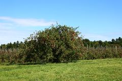 Apple trees. Ready for harvest in fall in Southern Quebec stock images