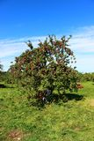Apple trees. Ready for harvest in fall in Southern Quebec stock image