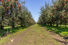 Apple trees Royalty Free Stock Photos