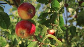 Apple trees with red apples. Close-up branch of ripe red apples in the garden stock footage