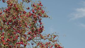 Apple trees with red apples in orchard. Blue sky background stock video footage